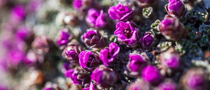 Niviarsiaq - Greenland's National Flower